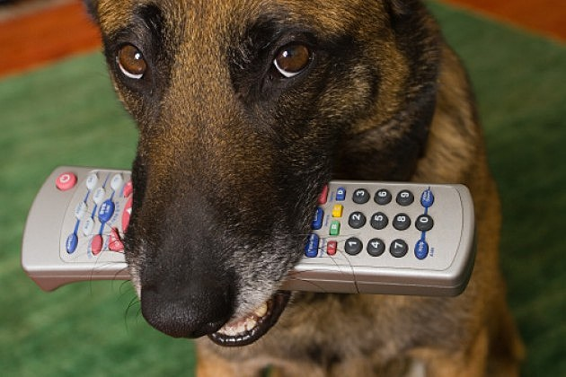 Dog Chewing on a remote