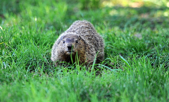 Gopher on golf course