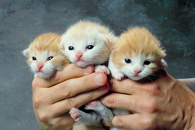 3 orange & white kittens