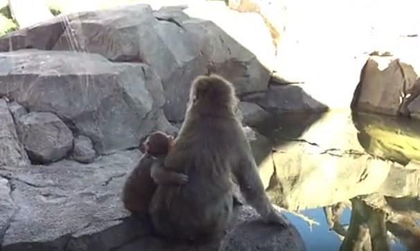 Snow monkeys at Great Plains Zoo